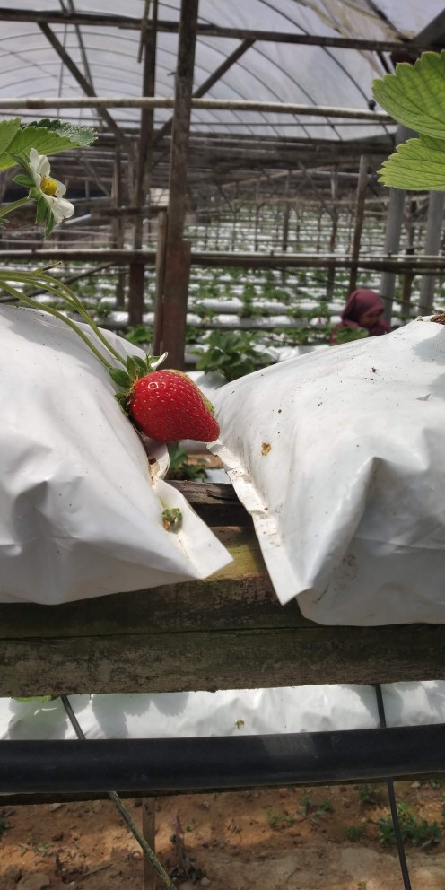 Strawberries growing in the farm